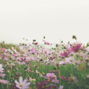 Eustoma do ogrodu – jak o nią dbać?
